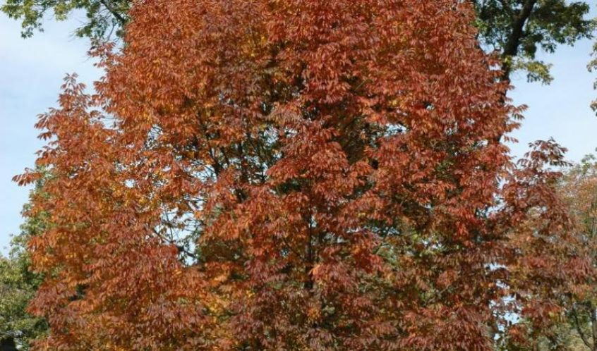The Red List of Maples