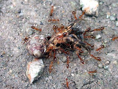 Pacific Invasive Ant Toolkit - Asia-Pacific Forest Invasive Species Network (APFISN)